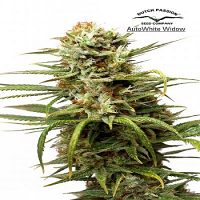 Dutch Passion Seeds AutoWhite Widow Feminized