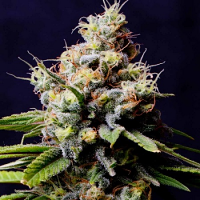 Spliff Seeds Purple Berry Kush Feminized