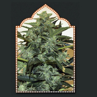 OO Seeds Auto Cheese Berry Feminized