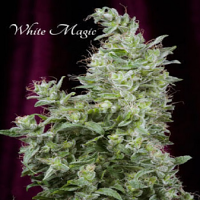 Mandala Seeds White Magic Feminized