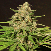 Cream of The Crop Seeds HYBRID X Feminised