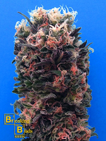 Breaking Buds Seeds Blue Sky 99% Feminized