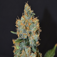 CBD Seeds Lavender Feminised