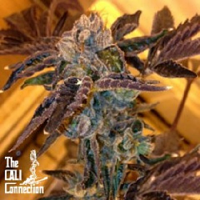 Cali Connection Seeds LA Cookies Feminized