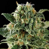 BlimBurn Seeds Critical Automatic Feminized