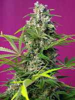 Sweet Seeds Gorilla Girl® Feminized