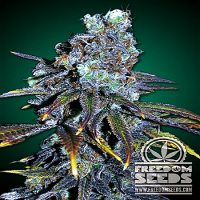 Freedom Seeds FreeBD Feminized