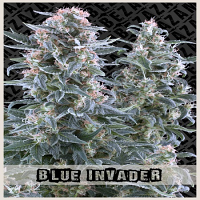 Zambeza Seeds Blue Invader Auto Feminized