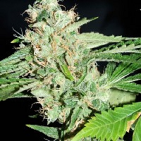 Reeferman Seeds Love Potion 1.1 Regular