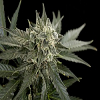 Dinafem Seeds Roadrunner #2 Auto Feminized