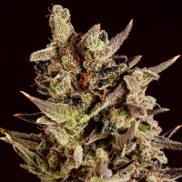 SuperCBDx Seeds Blueberry Headband x SCBDx Feminized