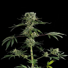 Dinafem Seeds Moby Dick #2 Feminized