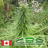 Canadian Bred Seeds Early Sativa Regular