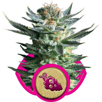 Royal Queen Seeds Fruit Spirit Feminized