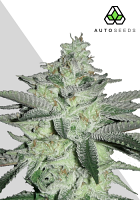 Auto Seeds Diesel Berry Auto Feminized