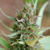 World of Seeds Legend Collection Strawberry Blue Feminized