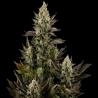 Dinafem Seeds White Widow Feminised