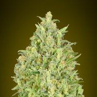 Auto Pineapple Glue - Feminized - Advanced Seeds (PICK N MIX)