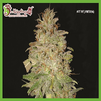 Dr Krippling Seeds Chocolate Orange Auto Feminized