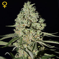 Green House Seeds Super Critical Feminised
