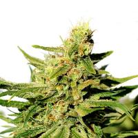 Kannabia Seeds BCN Diesel CBD Feminized