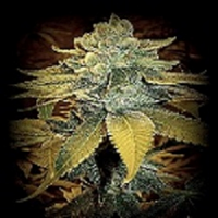 Sin City Seeds SinFully Sour Regular