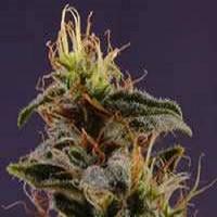 Soma Seeds G13 Haze x NYC Diesel Regular