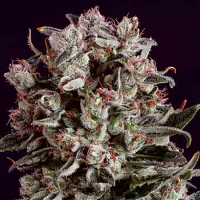 SuperCBDx Seeds Critical Mass x SCBDx Feminized