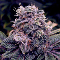 Spliff Seeds BlueBerry Regular (Silver)