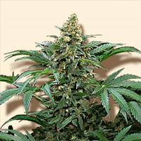 Bulk Seeds Bubblegum Feminized