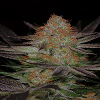 TGA Subcool Seeds Qrazy Train Regular