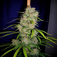 CannaBiogen Seeds Destroyer Feminized