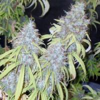 Connoisseur Genetics Seeds Haze Freak Regular