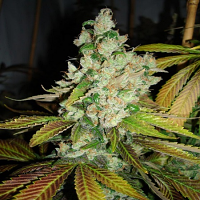 Hortilab Seeds Sour Pink Grapefruit Regular