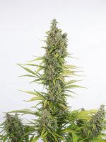 Dinafem Seeds Amnesia Autoflowering CBD Feminized (PICK N MIX)