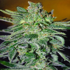 Advanced Seeds Haze Mist Feminized (PICK N MIX)