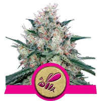 Royal Queen Seeds Honey Cream Fast Version Feminized