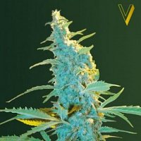 Victory Seeds Ultra Power Plant Feminized