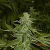 Jordan of the Islands Seeds God's AK47 Regular