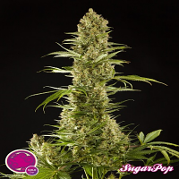 Philosopher Seeds SugarPop Feminized