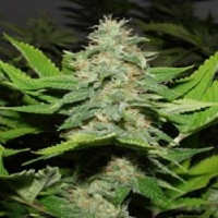 Rare Dankness Seeds Walker Kush Regular