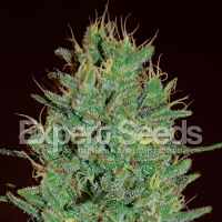 Expert Seeds Amnesia Haze Feminized (PICK N MIX)
