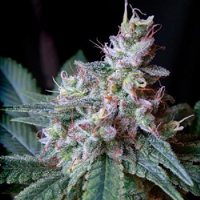 Sweet Seeds Cream Caramel F1 Fast Version Feminized