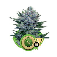 Royal Queen Seeds Northern Light Auto Feminized