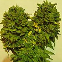 Jordan of the Islands Seeds God's Lemon Skunk Regular