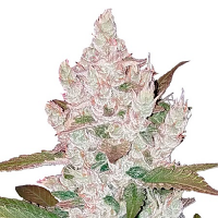 Good Buzz Genetics Bulk Seeds Auto Girl Scout Cookies Feminized