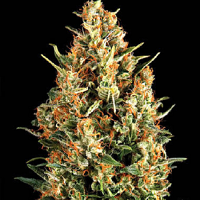 Pyramid Seeds Wembley Feminized