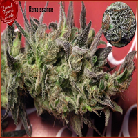 French Touch Seeds Renaissance Regular