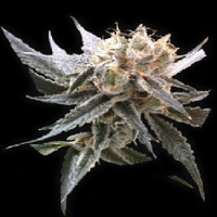 Reserva Privada Seeds Sour Tangie Feminized