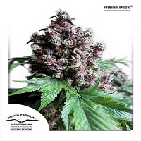 Dutch Passion Seeds Frisian Duck Feminized